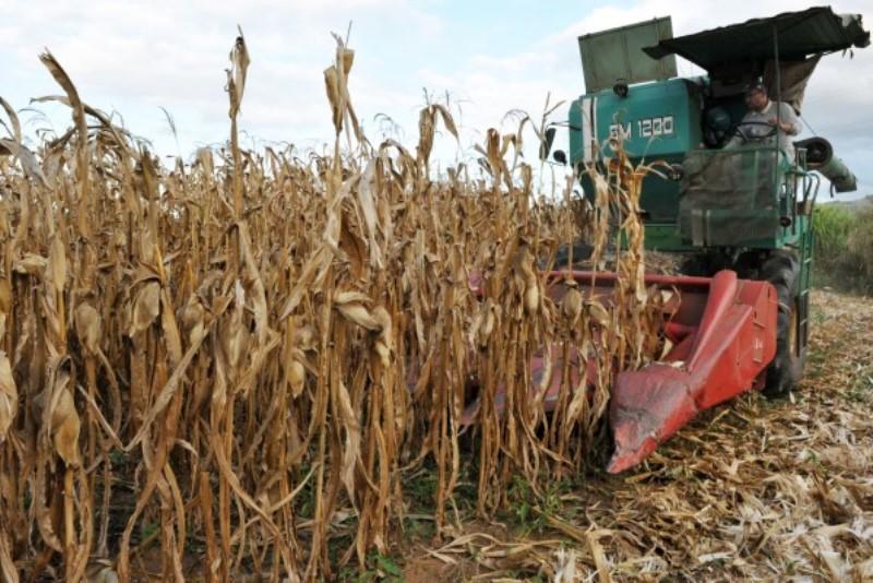 Colheita do milho segue com boa produtividade e grãos de boa qualidade