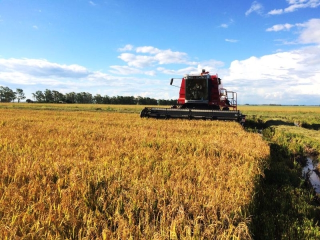 Produtores de arroz colheram 11,3% da área semeada no RS