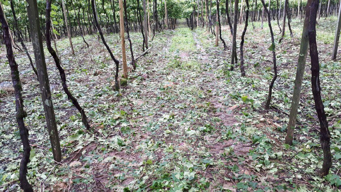 Temporal causa prejuízos em diversos parreirais de uva em Flores da Cunha