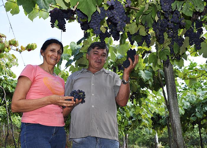 Com ajuda da ciência, primeiras vinícolas de pequeno porte são legalizadas
