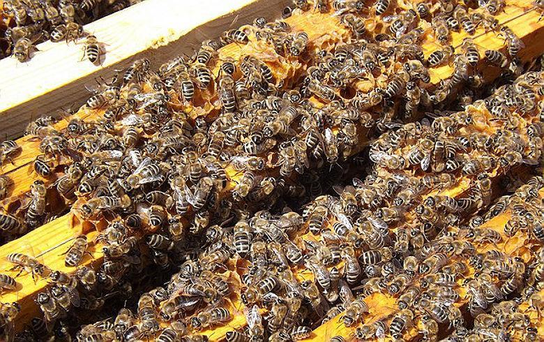 MP pede suspensão do uso de inseticida responsável pela mortandade de abelhas no RS