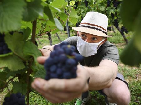 Secretaria da Saúde de Garibaldi orienta produtores quanto à Covid-19 durante colheita da uva