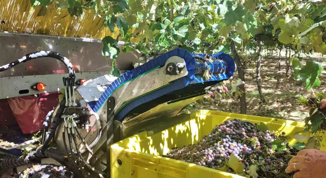 Fase final de testes com colhedora mecânica de uva é realizada no interior de Bento