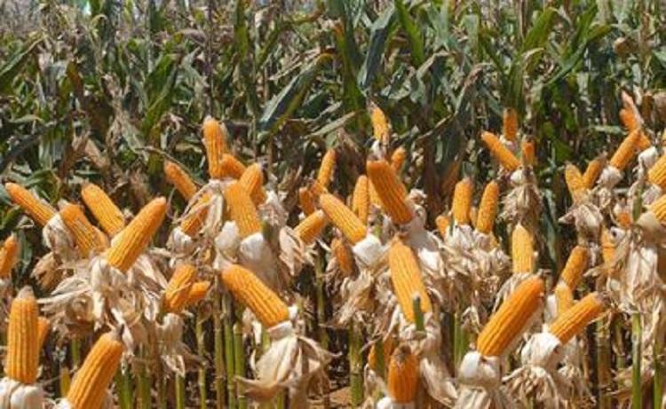 Conab prevê safra de 272,3 milhões de toneladas de grãos em 2020/21