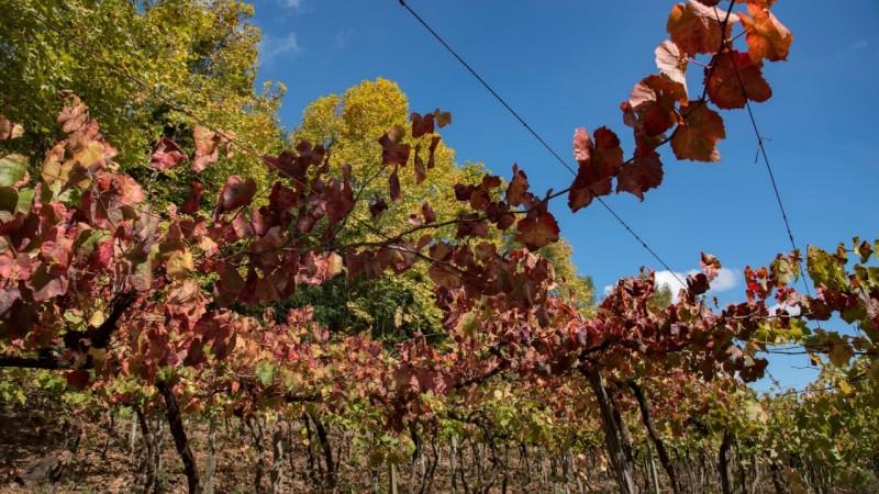 Boletim reforça importância da manutenção de parreirais sadios durante o inverno